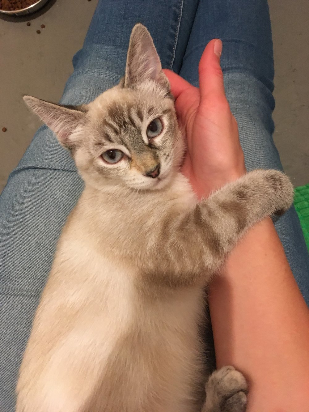 Little blue eyes - Aspen, littermate with Leaf and Oak, is a Lynx Point Siamese cat who loves laps and play time with her sisters. She is 4-months-old.