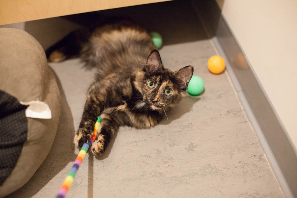 Tulsa is a fluffy girl and as sweet as they come — quick to purr, eager for pets and even learning to be a lap cat. Photo by Liz   Lazich.