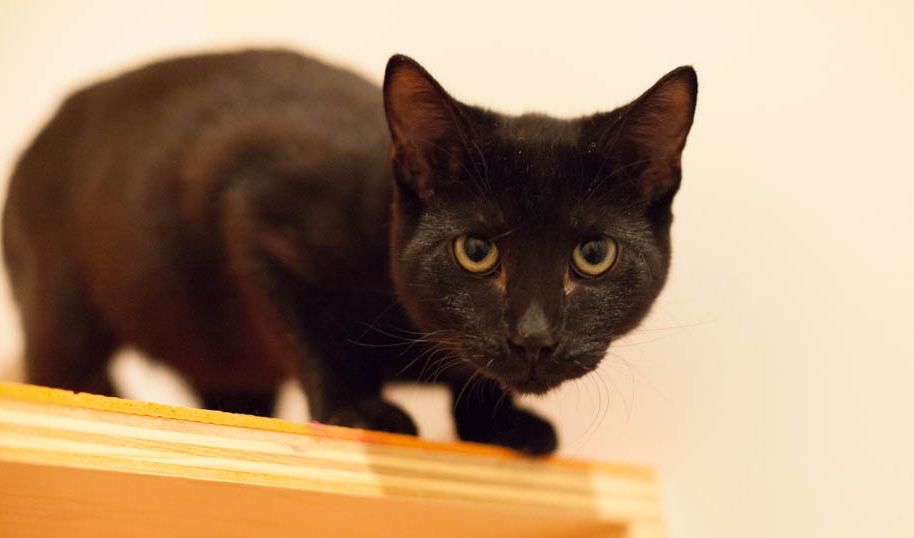Six is a gentle, if somewhat reserved, mini panther boy who loves treats and pets. We think he'd do best in a home with a confident cat or second kitten. Photo by Liz Lazich.