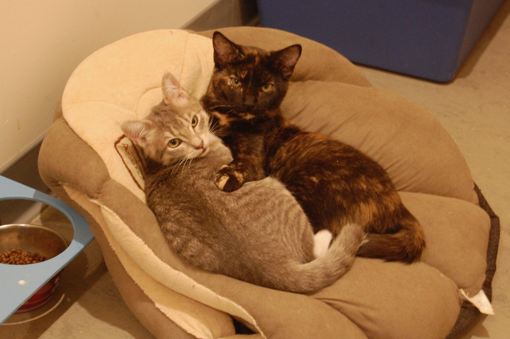 Jennifer (tortie) showing Mel, still available for adoption, the benefits of a good cuddle. Photo by Cathy Niland.
