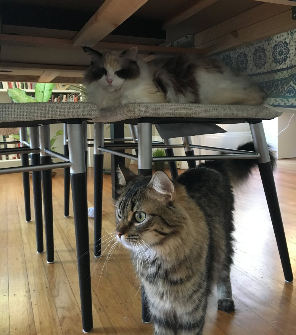 Vera and Sophie (FKA Sasha and Queen Floofs), adopted September 2017