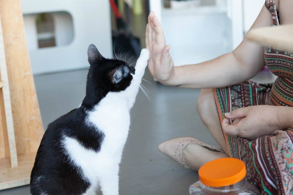 Alaska practices her high-five skills with Cat Care Coordinator Marie C. Photo by Liz Lazich.