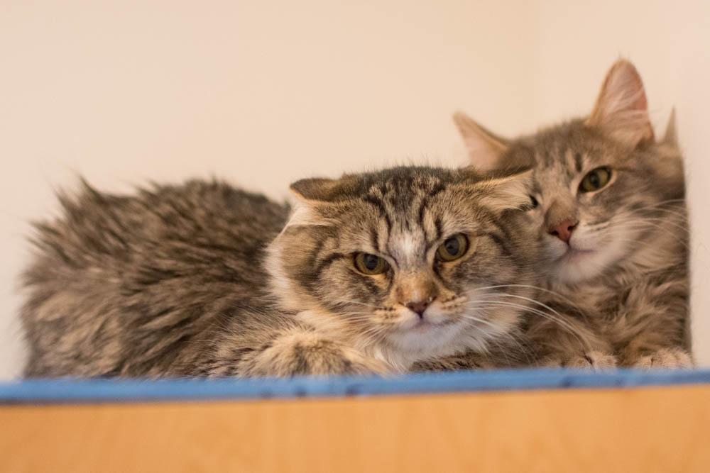 In their first week at Cat Town, Odessa (left) and Ogden showed classic signs of forgotten kittens--like flat ears and hissing. Photo by Liz Lazich.
