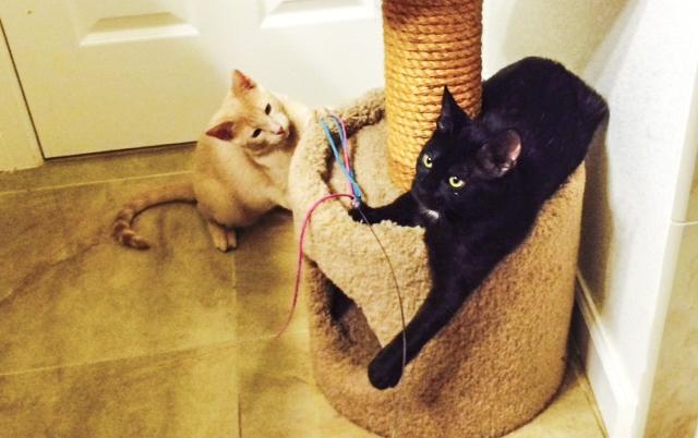 Hali's former foster kittens, Cheyenne and Mars, enjoying playtime.