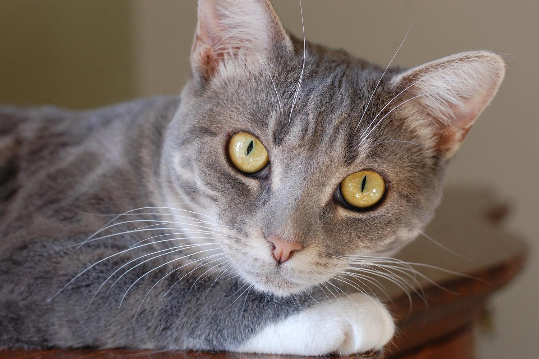5 Facts About Tabby Cats - 5 Facts About Tabby Cats