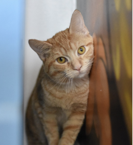 PAPRIKA, 5-6 MONTHS, FEMALE, BONDED PAIR WITH GEMMA