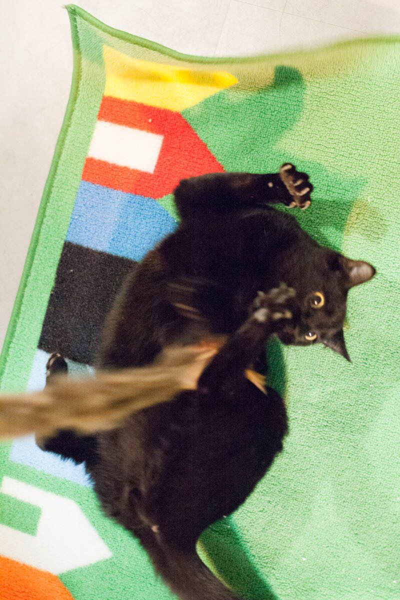 Playtime with toys is often the first activity that bonds an under-socialized cat with their new family.