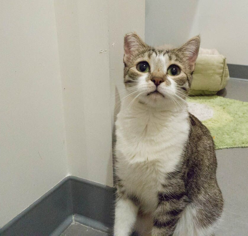 CALEB, 1 YEAR MALE, BONDED PAIR WITH PATRICK