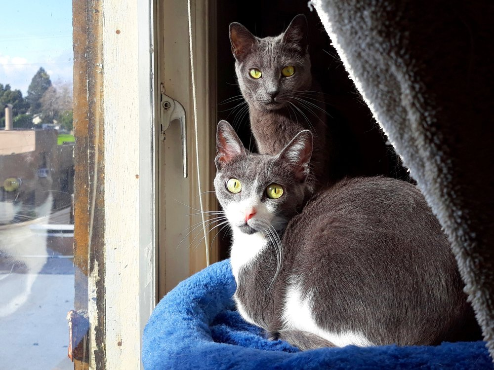 TIGER AND FAWN, 1.5 YEARS, MALE AND FEMALE, BONDED PAIR
