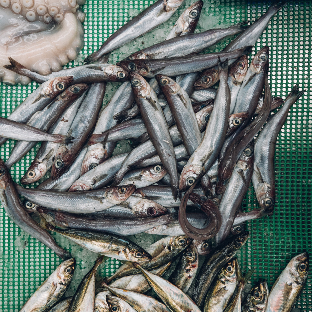 sardines fresh caught in southern portugal