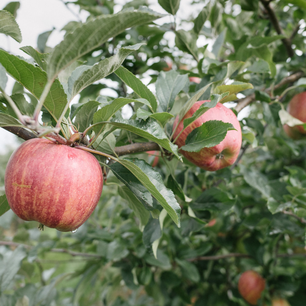 apples on a tree ready for picking in rural Belgium (Limburg)