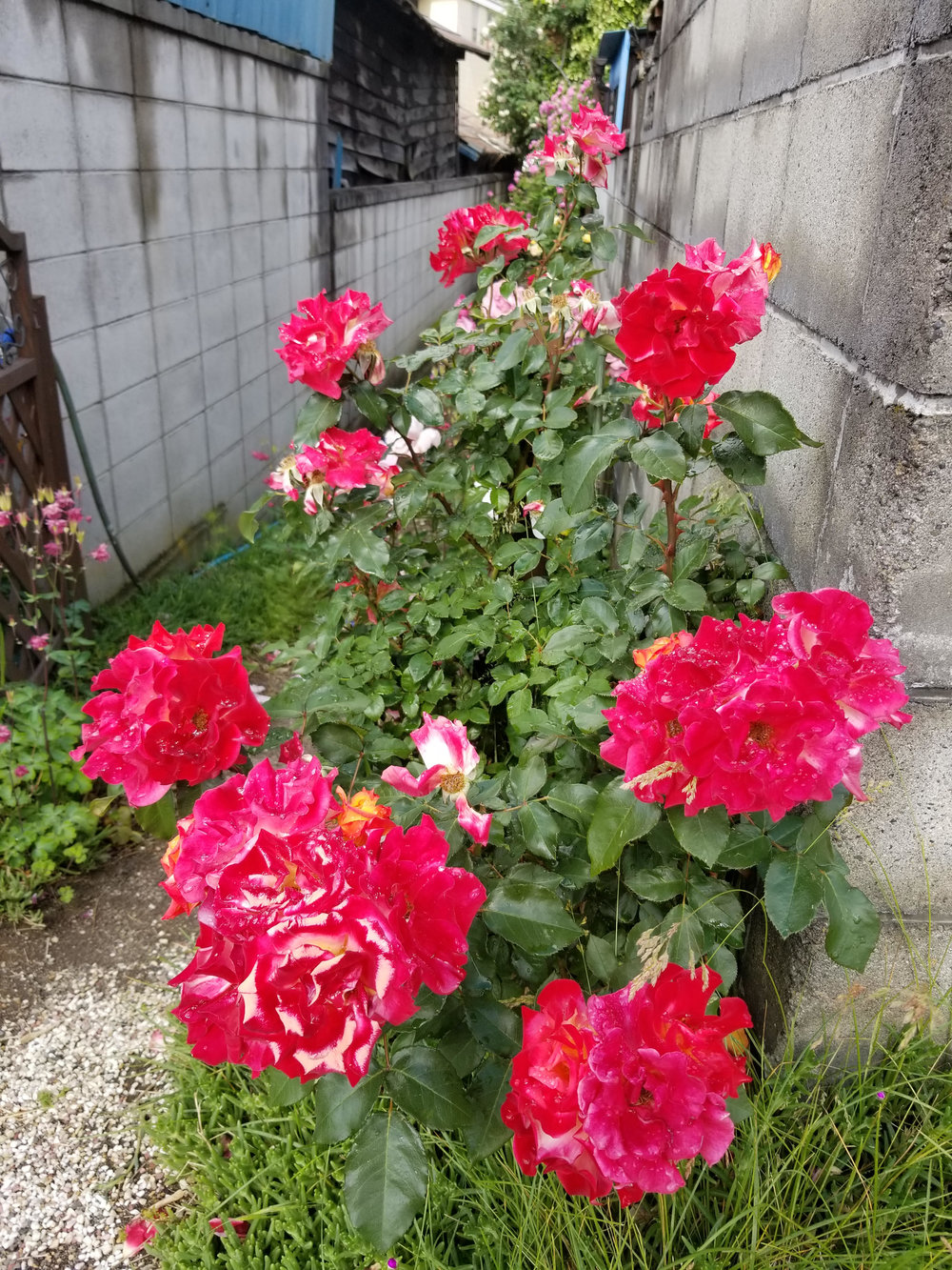 The Roses of Matsumoto. Photo by J. Bonney (2018).