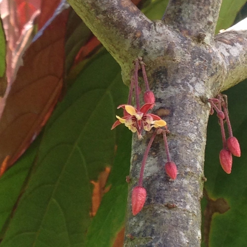 Did you know that Cacao blossoms and pods grow right off the trunk and branches? This is a surprise to a lot of people, but their growing position gives them a lot of strength and stability.  Here are some buds and a blossom from the summer of 2015.