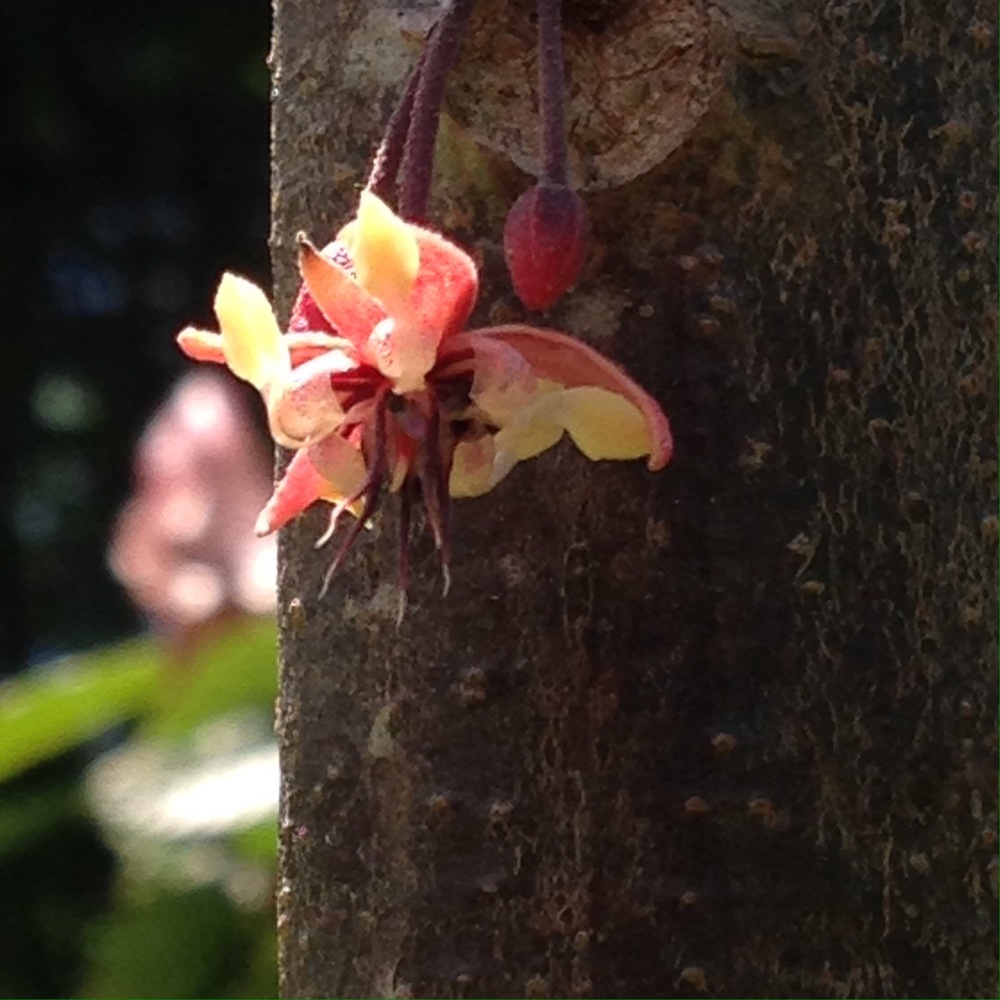 The blossoms are quite beautiful and considering how large and bulky the resulting cacao pods are, they are comparatively dainty!