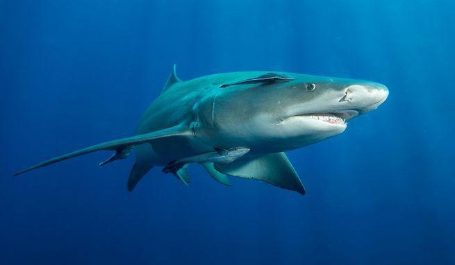 Lemon Shark in West Palm Beach.  John Michael Bullock