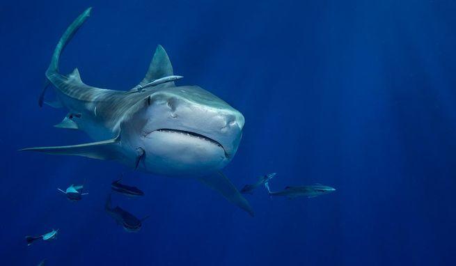 A tiger shark made an appearance on a dive in West Palm Beach.  John Michael Bullock