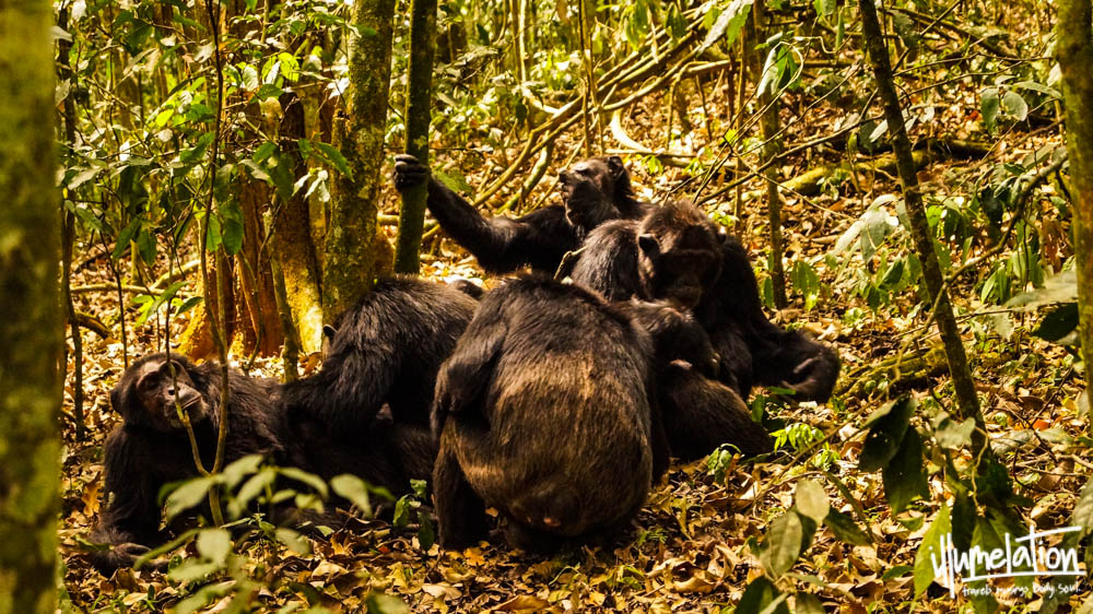 Wild chimpanzee trekking, group of males. Kibale Forest Uganda 2015.