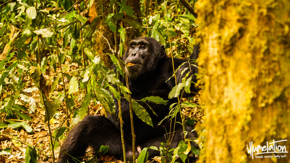 Wild Chimpanzee Trek. Kibale Forest. Uganda. illumelation. 2015.