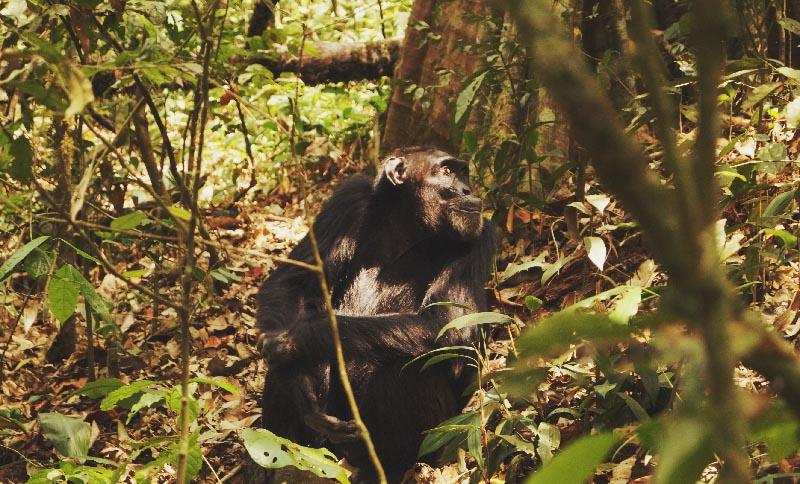 Illumelation Ape Chimpanzee Kibale Forest Uganda.jpg