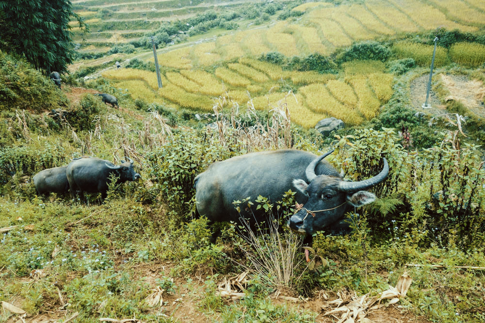Water buffalo walking on the rice terraces of Sapa, Vietnam. || illumelation.com