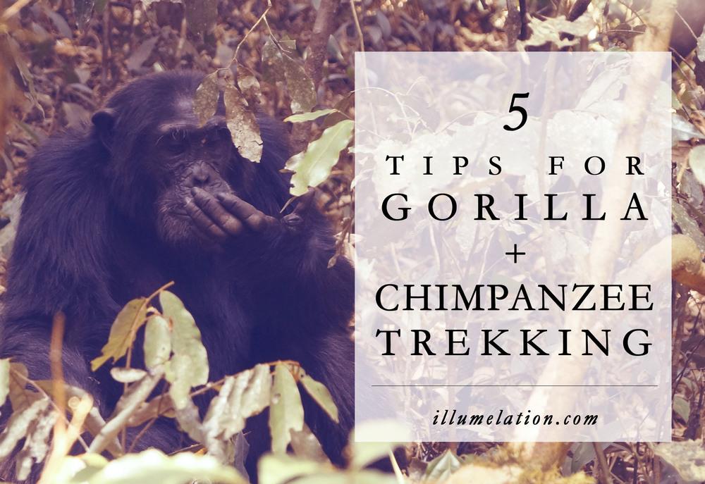 5 Tips for Gorilla + Chimpanzee Trekking in Kibale Forest, Uganda - illumelation.com