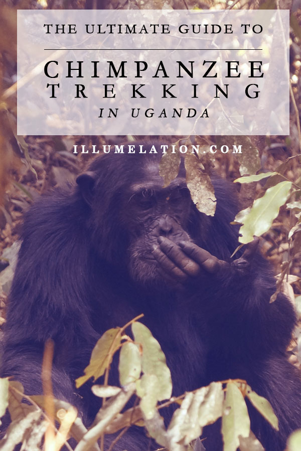 The Ultimate Guide to Chimp Trekking in Kibale Uganda