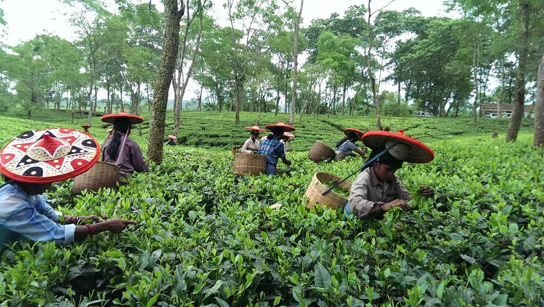 add89317241 An Assam Adventure — Carole s Super Tea Adventure