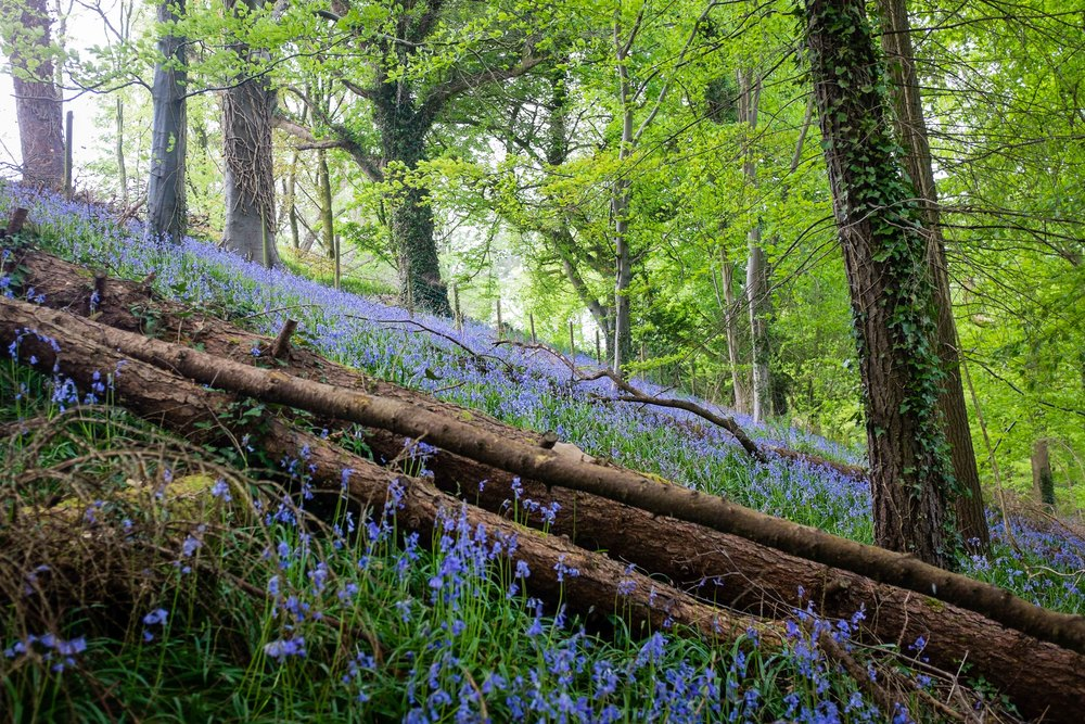 Minnowburn Bluebells wedding portrait location belfast