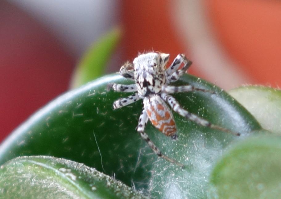 spideronhoyacompacta