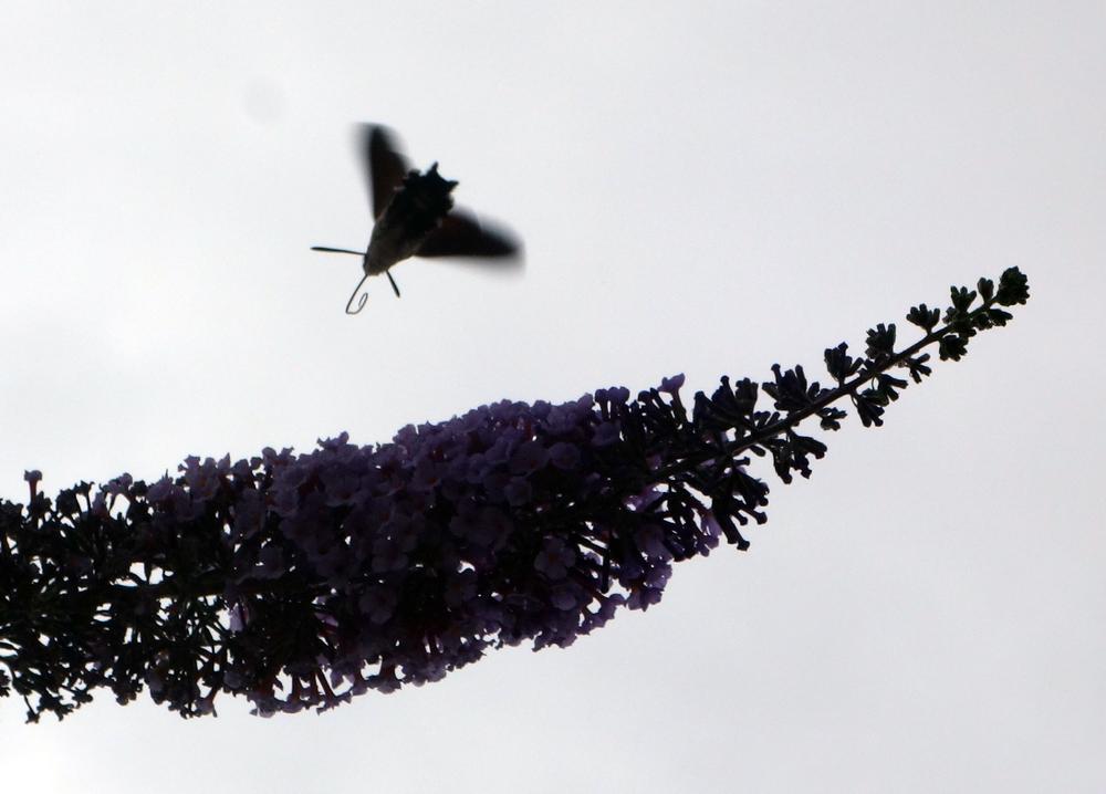 A semi-silhouette of the hummingbird hawk moth.