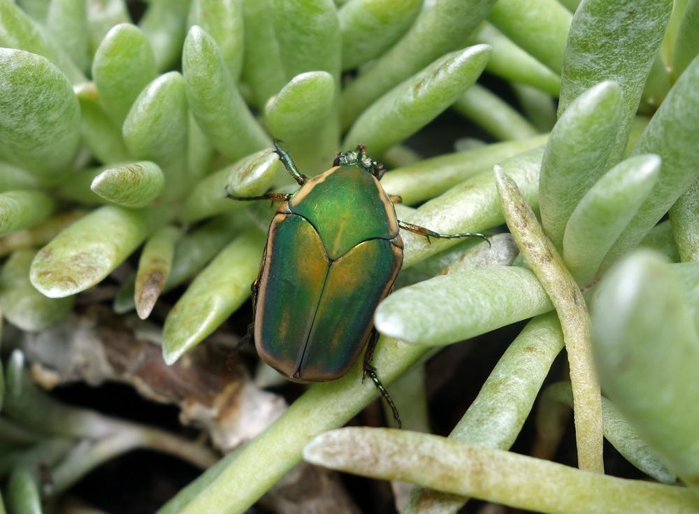 greenjunebeetle2.jpg