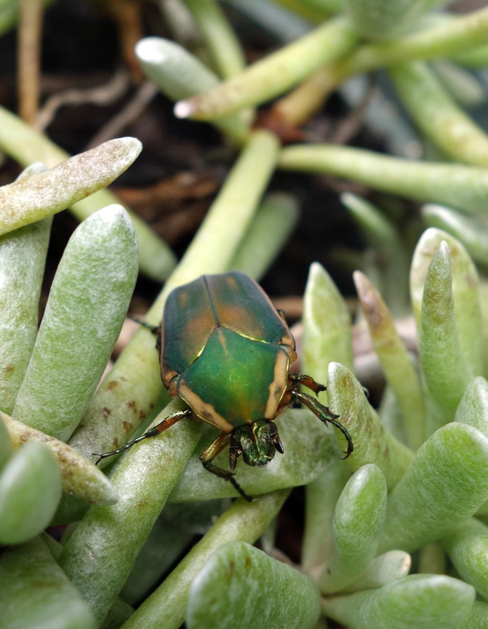 greenjunebeetle1.jpg