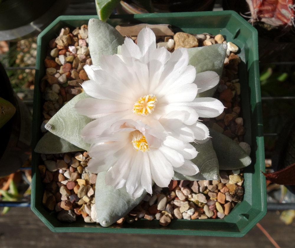 Ariocarpus retusus var furfuraceus Oct16 blooms1.jpg