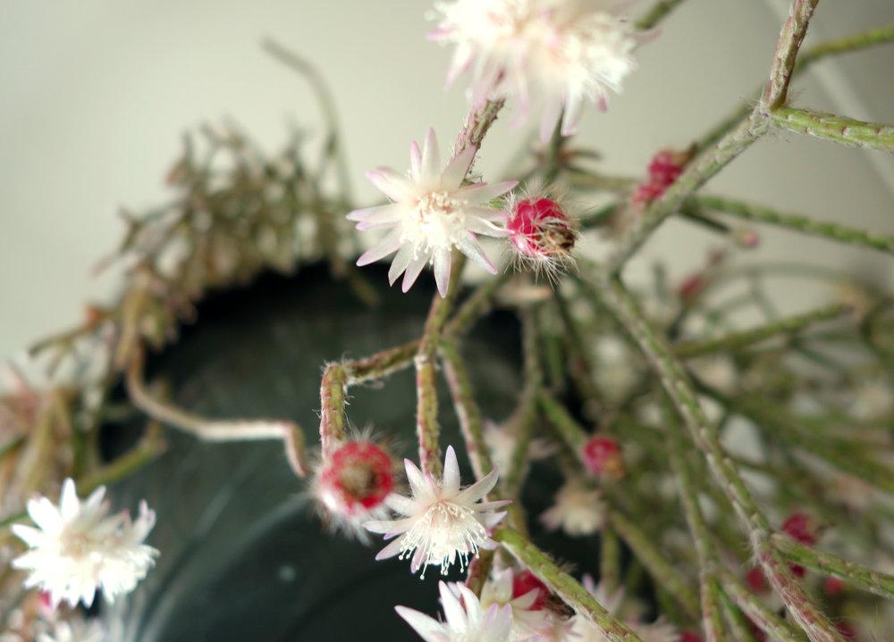 Rhipsalis pilocarpa Nov16 2.jpg
