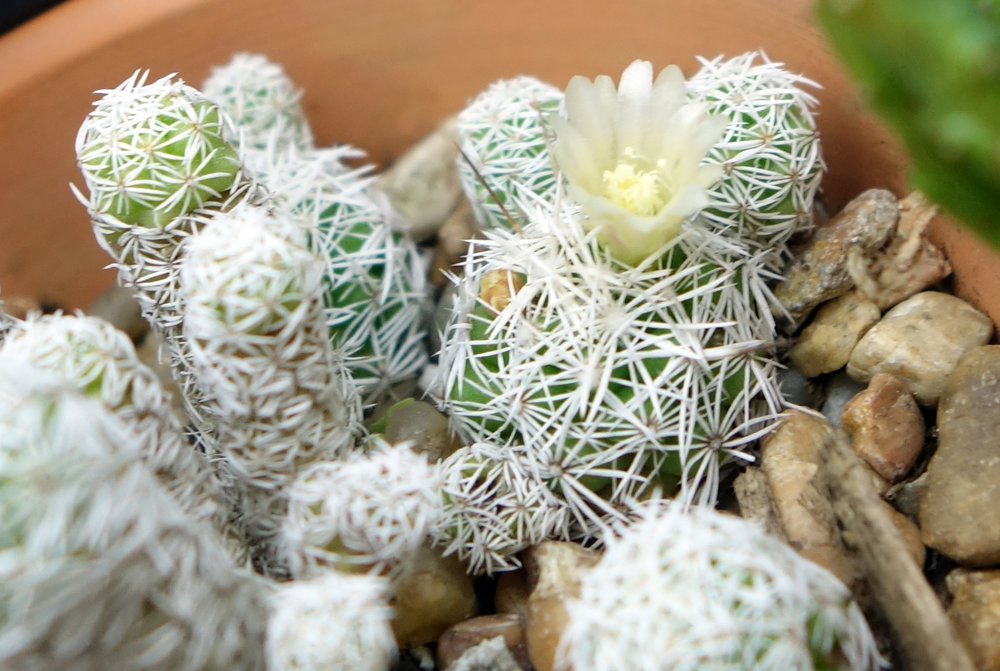 Mammillaria gracilis var fragilis 1.jpg