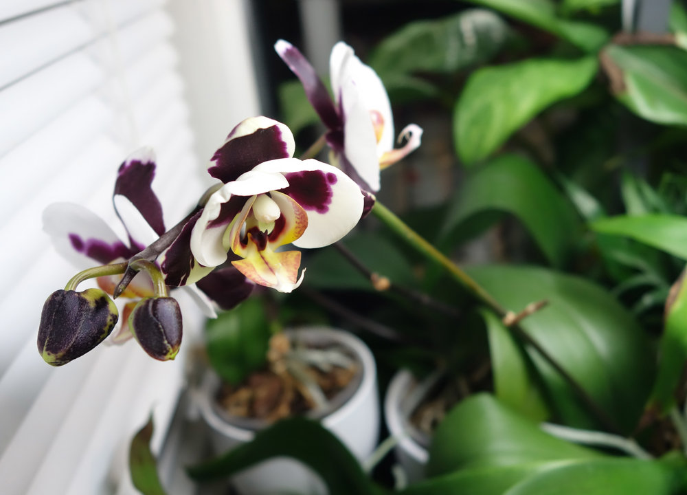 Phal bloom Dec16 2.jpg