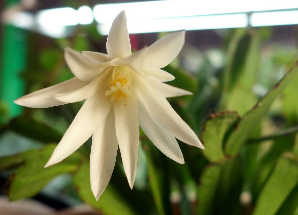 Schlumbergera EC flower 1 Jan17.jpg