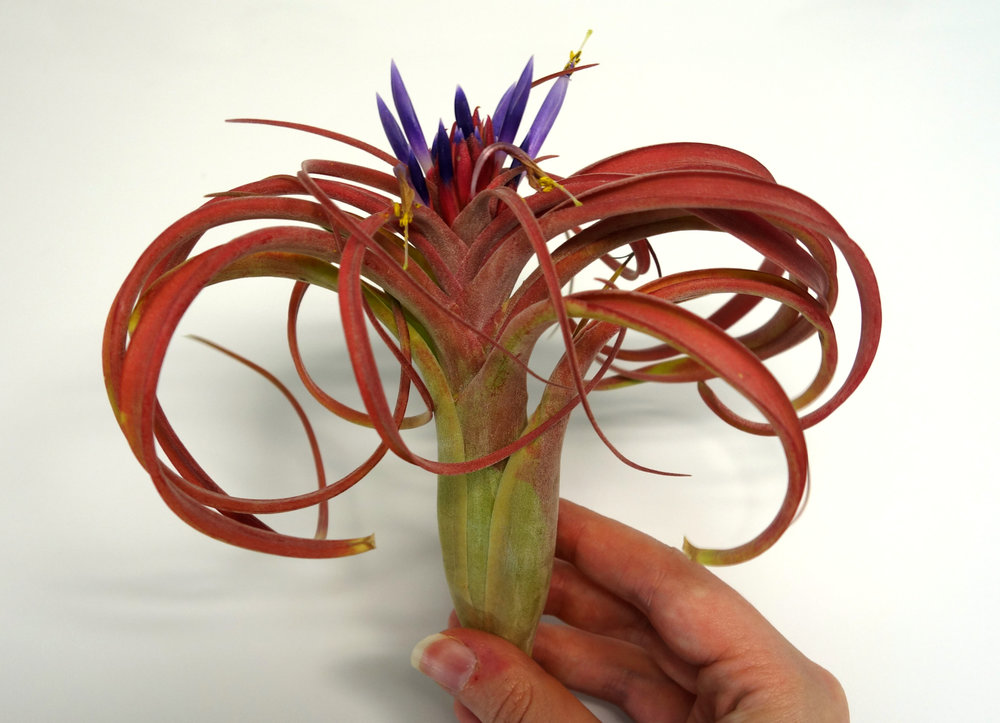 Tillandsia bloom 1.jpg