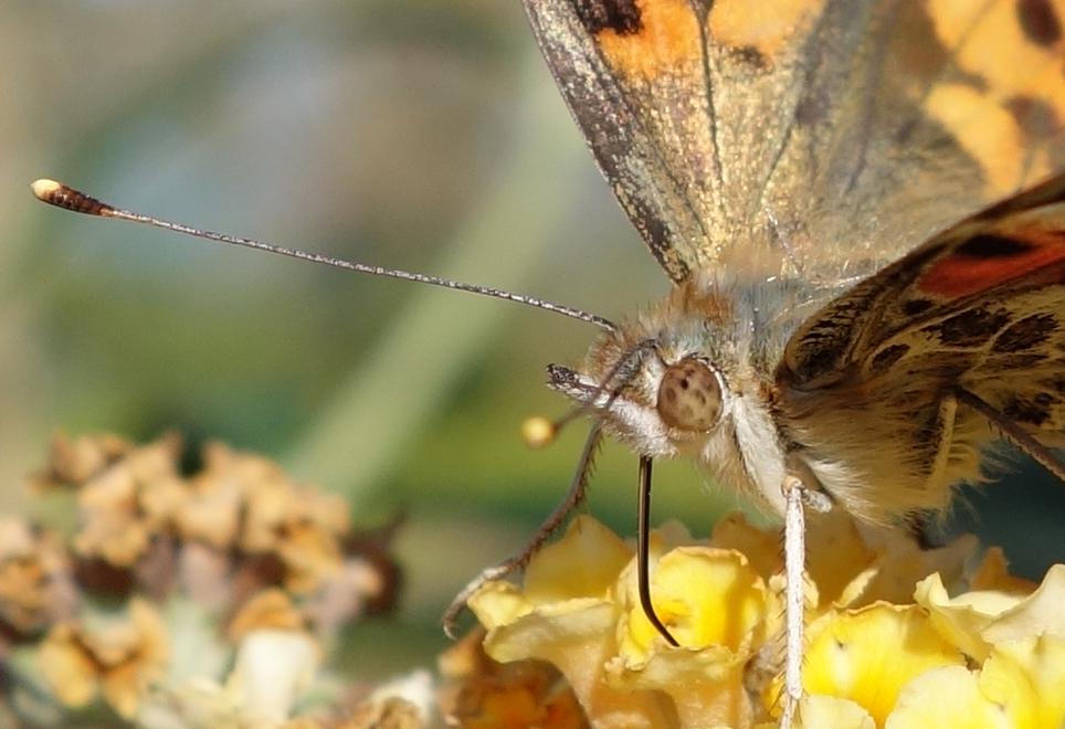 Schlagle butterfly 4.jpg