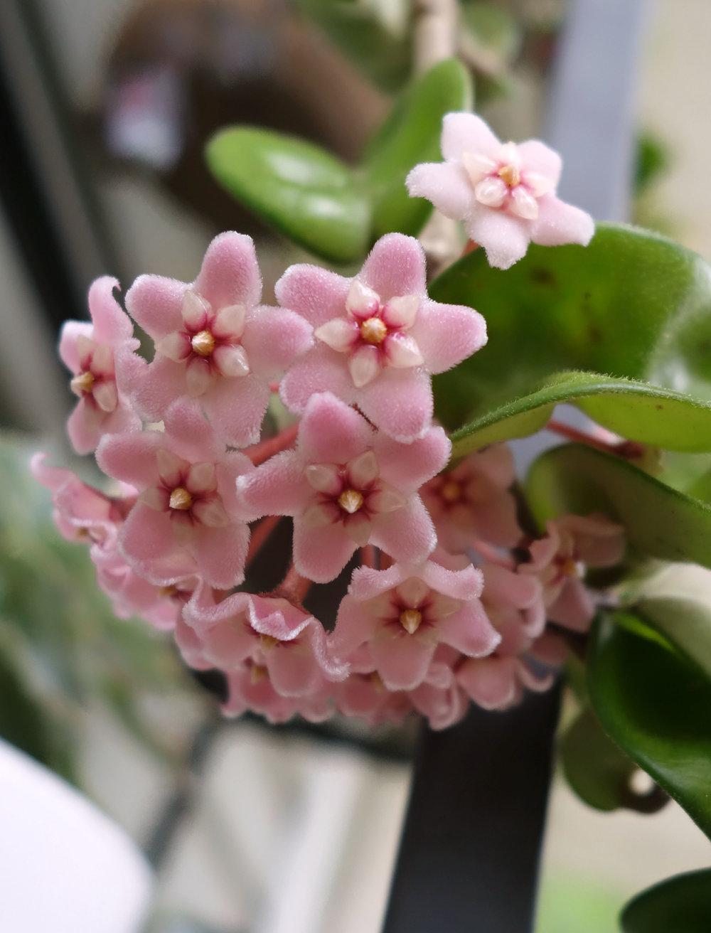 H compacta 9-17-17 blooms 1.jpg