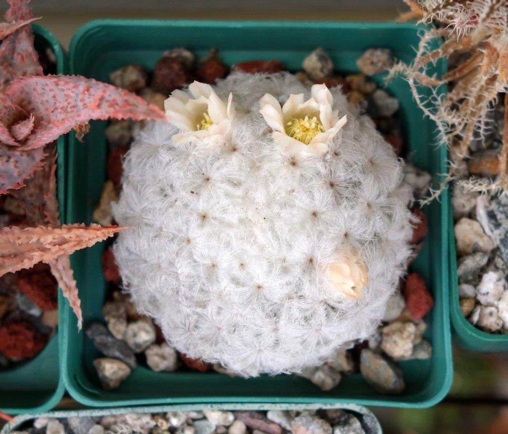 M plumosa blooms 10-18-17.jpg
