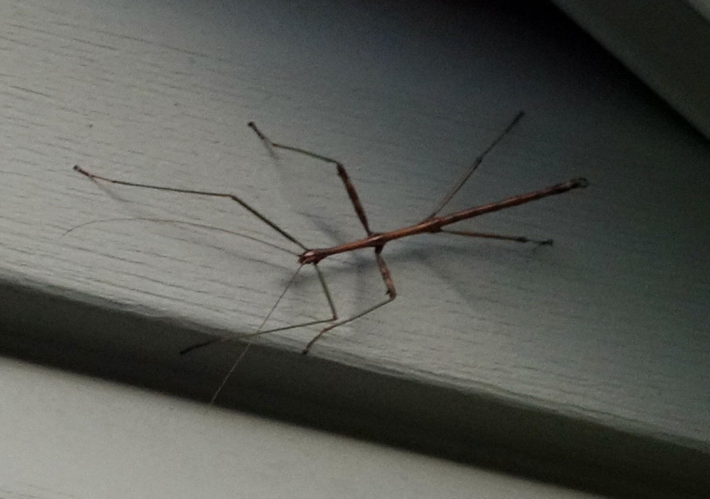 stick insect 10-21-17.jpg