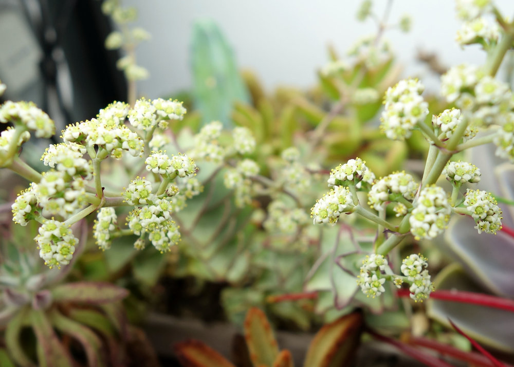 Crassula perforata flowers 11-25-17.jpg