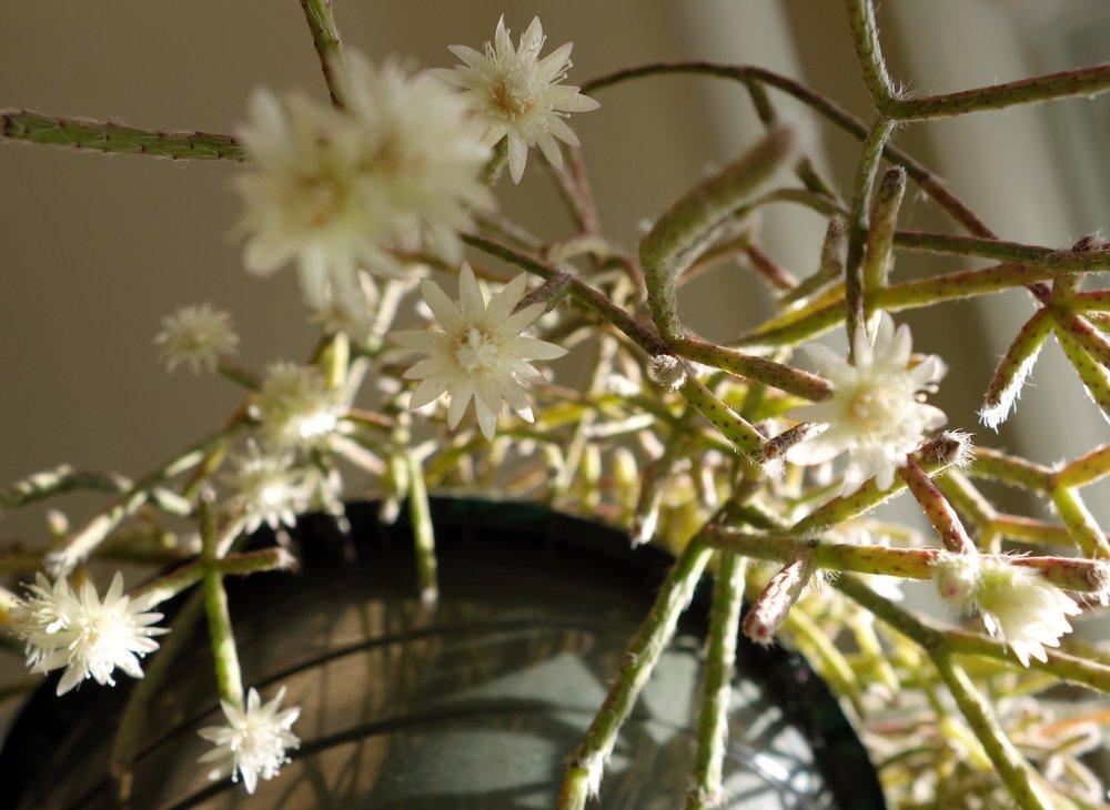 Rhipsalis pilocarpa flowers 11-16-17.jpg