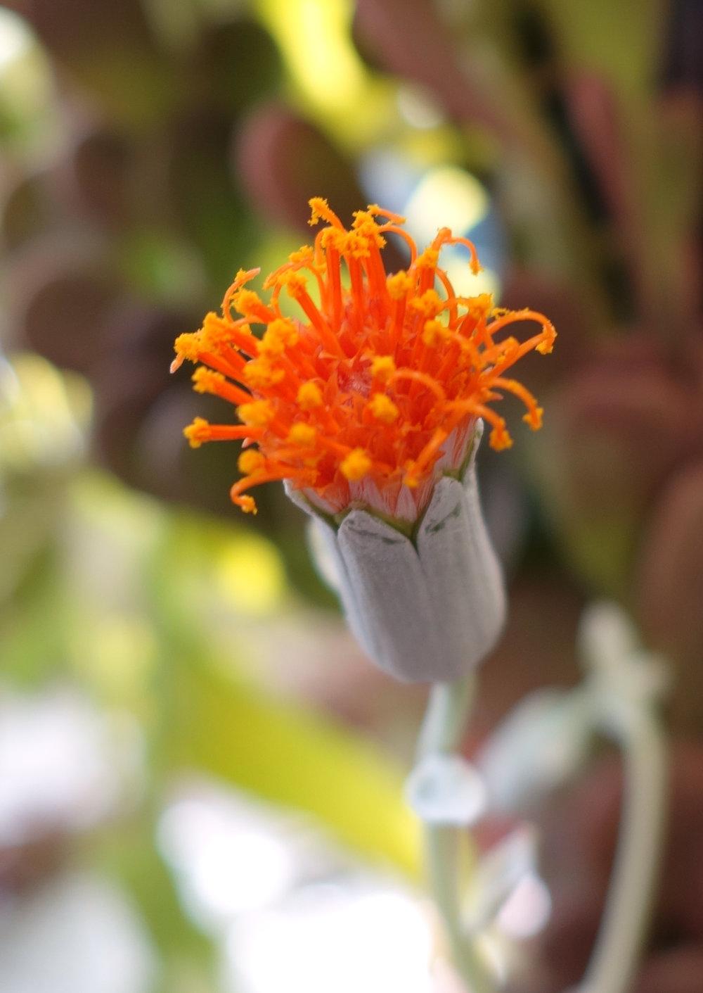 Senecio jacobsenii flower 11-16-17.jpg