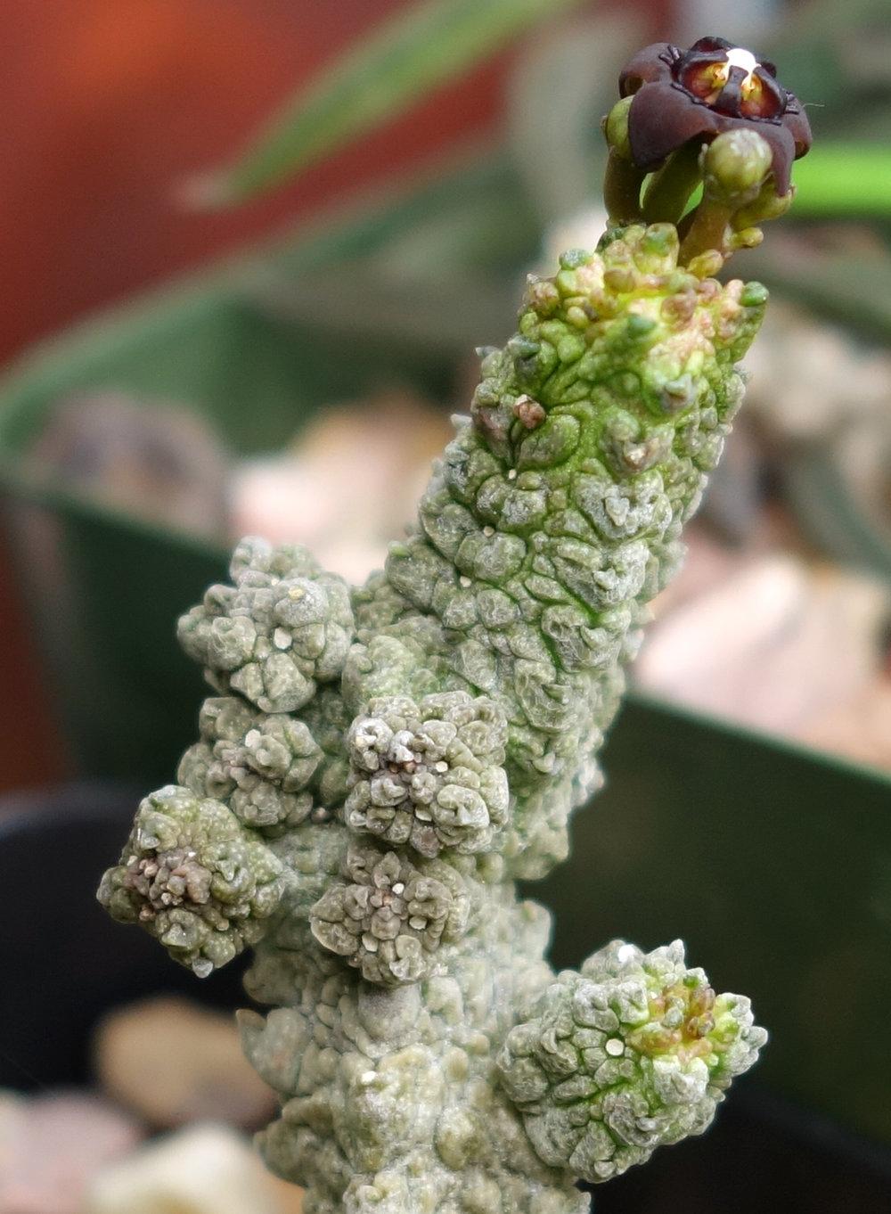 Anomalluma dodsiana flower 1 11-1-17.jpg