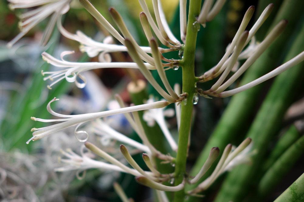 Sansevieria cylindrica flowering 12-31-17.jpg