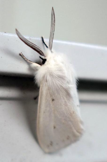 Fall webworm hyphantria cunea 3c.jpg