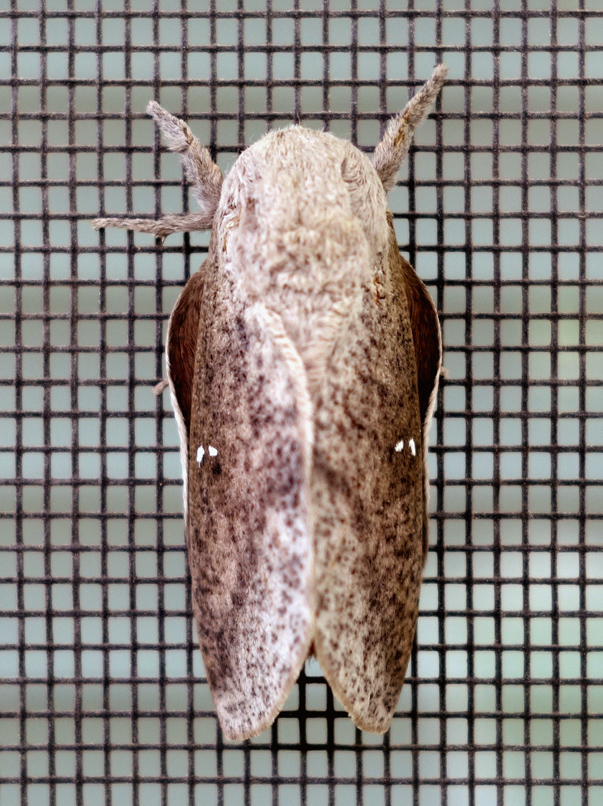 honey locust moth or bisected hlm 2c.jpg