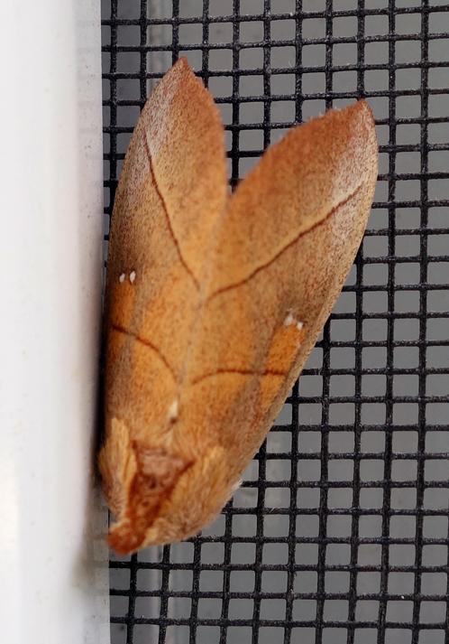 White-dotted Prominent Nadata gibbosa 2c.jpg